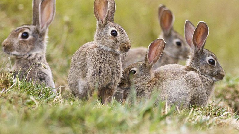Rabbit Control Suffolk Wildlife Services
