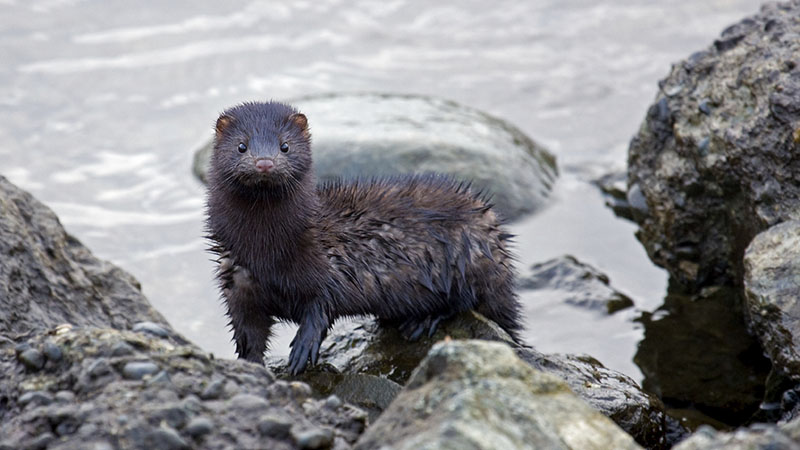 Mink Control Suffolk Wildlife Services