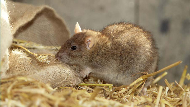 Rodent Control Suffolk Wildlife Services