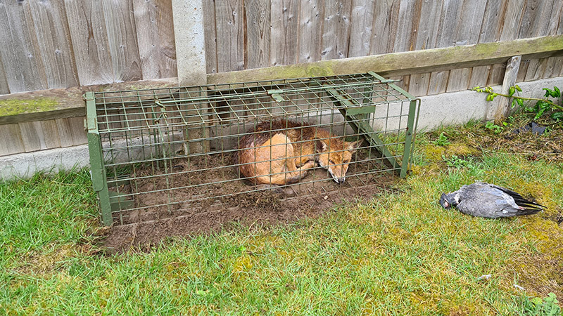 Fox Control Suffolk Wildlife Services